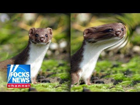 New York Declares Weasels Outbreak